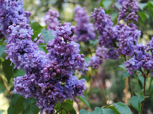 Lilac Walks at Alpenglow Lilac Gardens in Idyllwild