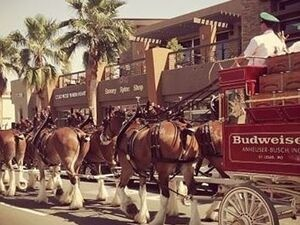 Budweiser Clydesdales Coming to El Paseo