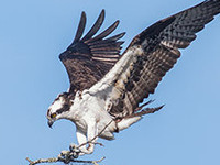 Monday Night Seminar: Ospreys Across the Pond–A European Osprey Tour