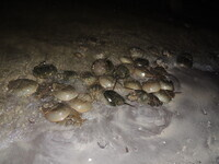 New Moon for Horseshoe Crabs