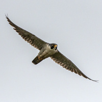 Science Sunday—Nest Watchers: Citizen Scientists Reveal New Information about Peregrine Falcons