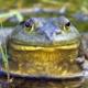 Frog Hunt