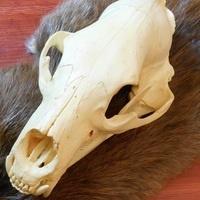 Skull Stand