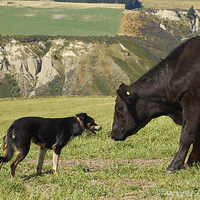 Beef Production and the Working Cowdog