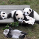 An Illustrated Talk: The Giant Pandas of Chengdu