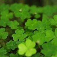 Crazy About Clovers