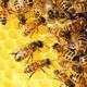 Helping Honeybees