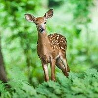 Film in the Forest: Private Life of a Deer