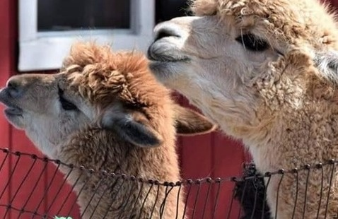 Creekwater Alpacas at Buford Corn Maze
