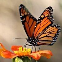 Homeschool Day: Monarch Butterflies