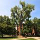 Tree Care and Tree Planting with Vince Aquino, CU Campus Arborist