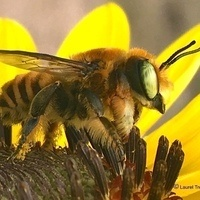 """""""Native Bees of Texas"""""""