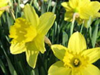 Spring Bulbs: Three Months of Bloom