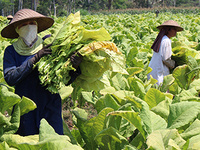Indonesian Tobacco Agriculture and Contract Relations - Marina Welker