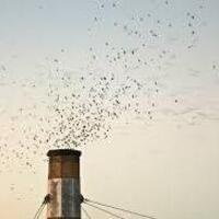 Vaux's Swifts at Chapman Elementary