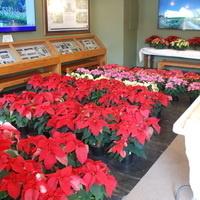 Annual Poinsettia and Amaryllis Sale