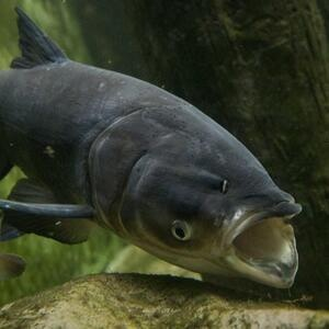 Holy Carp!  Can we stop Asian Carp from invading the Great Lakes?