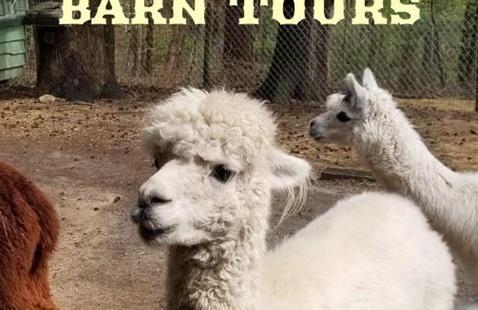 Creekwater Alpaca Farm Barn Tours