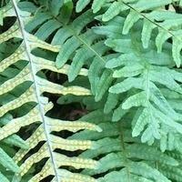 Native Plants Walking Tour of PLU