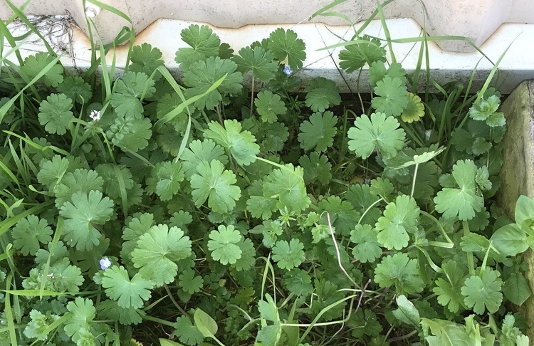 Landscape Weed ID and Control