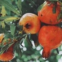 Pomegranate Presentation and Tasting