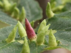 """Structural Biology Seminar """"How Aphids Make Plant Galls"""""""