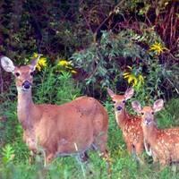 Deer, Forest Health & Hunting Program - Friends of Rothrock