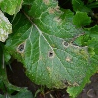 Brassica Crop Management:Diseases and Cabbage Maggot workshop
