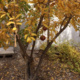 Pomegranates, Figs and other Fruit Tree Pruning Class, FREE