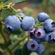 2019 OSU Blueberry Pruning Workshop