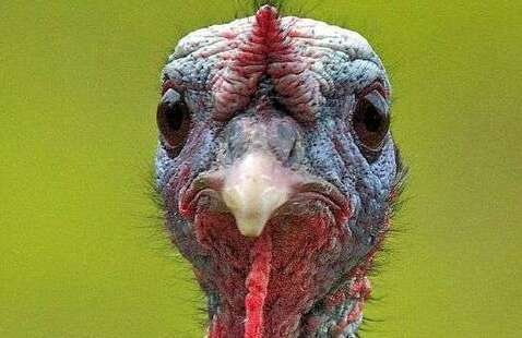 Smiling Turkey