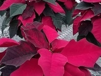 Hortus Forum Poinsettia Sale