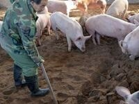 A Chinese pig farmer providing care for his live-stock using a hoe to spread feed.