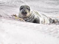 Seals of Long Island