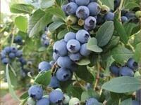 Growing Blueberies in SC