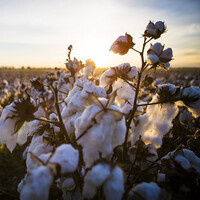 Missouri Cotton Production and Outlook Conference