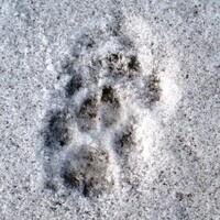Winter Animal Tracks and Casting