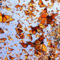 CANCELED - Mysteries of Monarch Migration