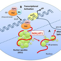 Determining the function and mechanism of the MALAT1 long non-coding RNA in co-transcriptional splicing