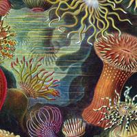 The diversity of sea anemones (Ernst Haeckel)