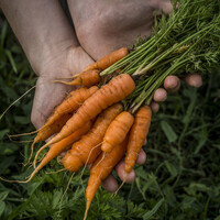 carrots from UAB Gardens