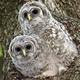 Tiny Tots: Owl Babies (Thurs AM)
