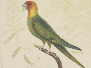 Carolina Parakeet, Mark Catesby (artist); published in The Natural History of Carolina, Florida and the Bahamas vol. 1, London, 1731, engraving; Special Collections, The Sheridan Libraries, The Johns Hopkins University