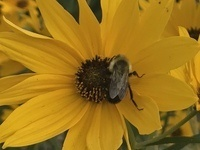 bee foraging on swamp sunflower