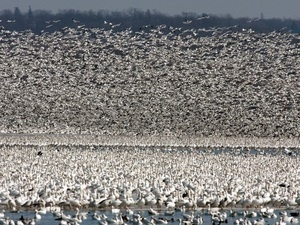 Snow Geese by Andy Saunders