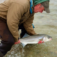 Tom Robinson of Vineyard Haven releases a striped bass.