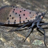 CANCELED - Speaker Series: The Spotted Lanternfly