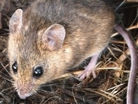 White-footed mouse, J. Maughn, https://c2.staticflickr.com/8/7126/6879819434_7a4ffbdc57_o.jpg, CC BY-NC 4.0