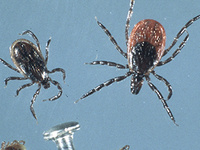 Protecting Yourself from Ticks & Tick-borne Disease at the Creative Gardeners of Penfield meeting CANCELLED
