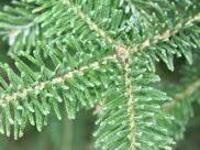 Christmas Tree Research and Extension update